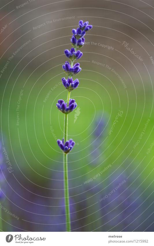 Einzelkämpfer elegant Stil Natur Pflanze Sommer Schönes Wetter Blüte Wildpflanze Lavendel Blütenstiel Garten Lavendelduft Blühend Duft Erholung genießen