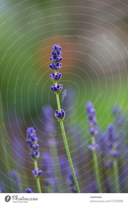 hoch hinaus elegant Stil Natur Pflanze Sommer Schönes Wetter Blüte Wildpflanze Lavendel Lavendelduft Garten Farbfleck atmen Blühend Duft Erholung genießen