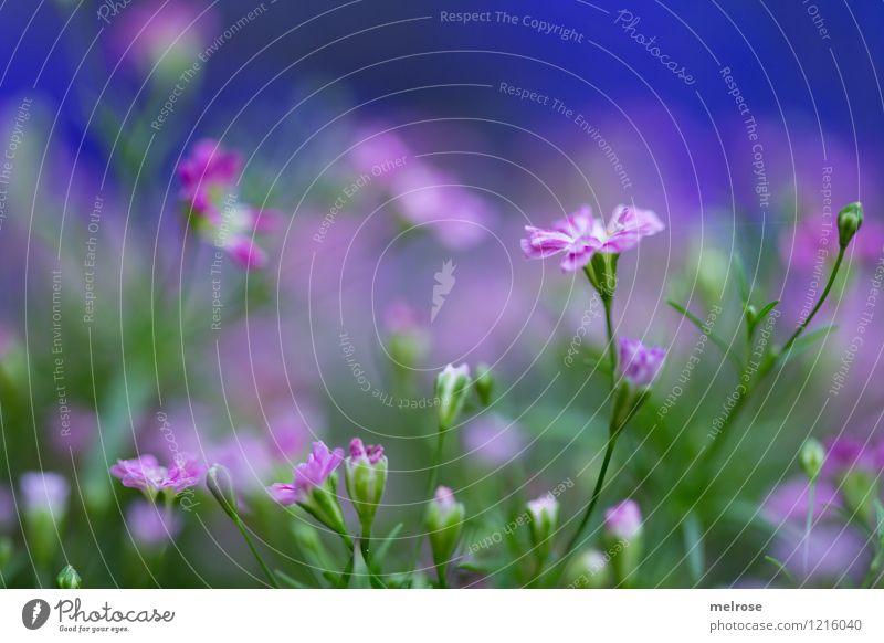 Morschaaaaaaaaaaa Natur blau grün Sommer Blume ruhig kalt Blüte Stil klein Garten Stimmung rosa leuchten Wachstum elegant