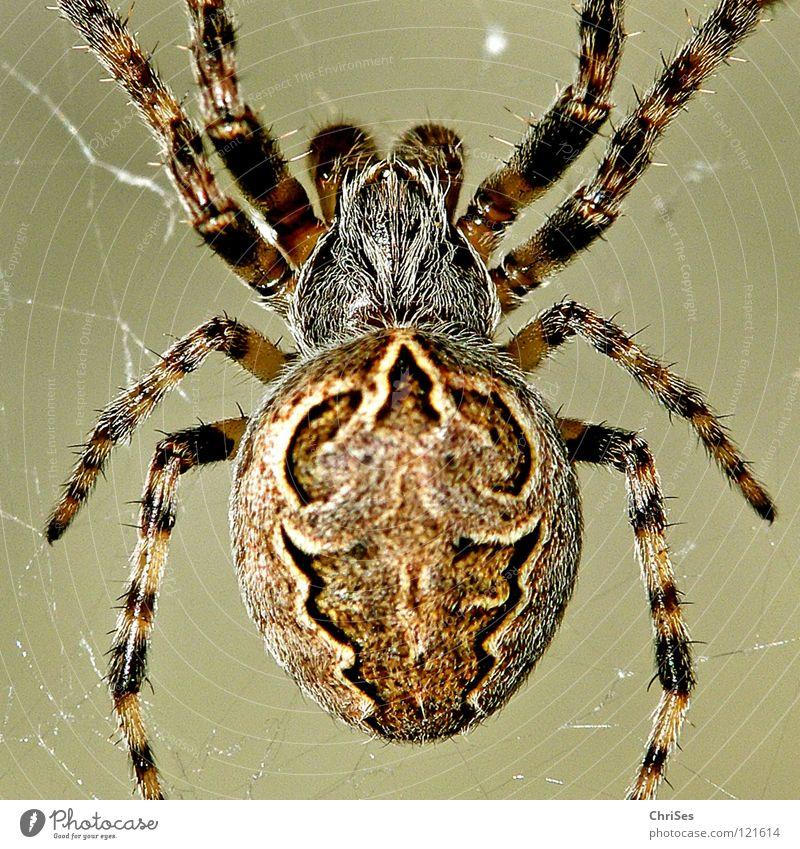 Gartenkreuzspinne (Araneus diadematus) Kreuzspinne Tier Spinne Radnetzspinne Insekt Lebewesen Ekel töten fangen kleben Chitin Nordwalde Makroaufnahme