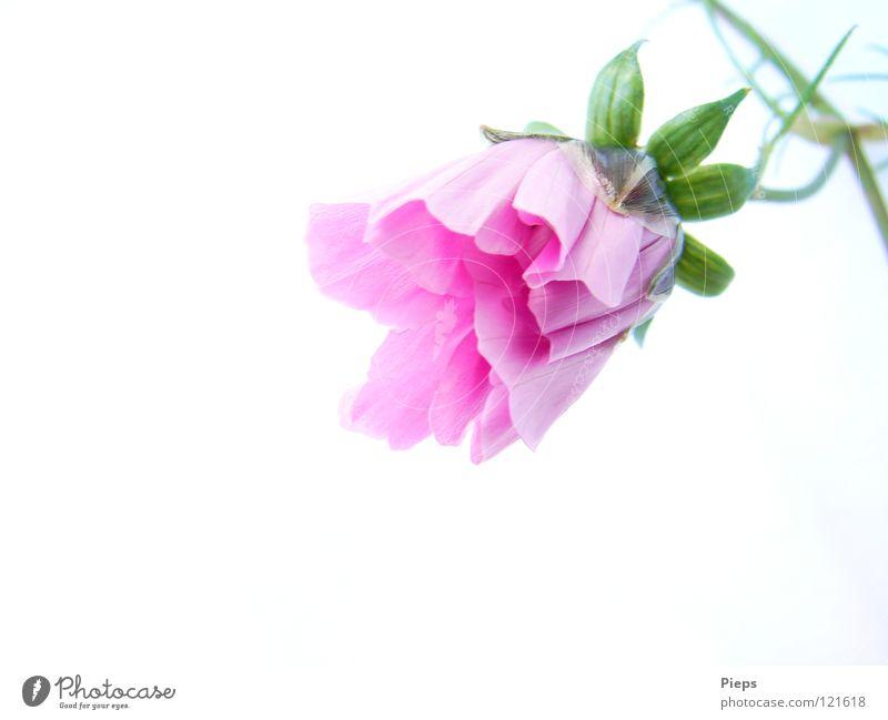 Rosa Entfaltung (3) Natur grün Sommer Pflanze Blume Blüte rosa Wachstum Blühend harmonisch Blütenknospen Botanik Vorfreude Entwicklung zierlich Schmuckkörbchen