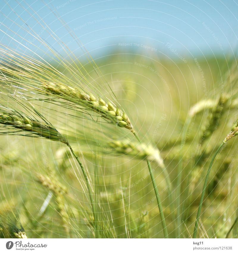 Stürmisches Gerstenfeld III Weizen Roggen Blume grün Gras Freizeit & Hobby beige braun nah Sommer Wiese Feld Halm Ähren weiß Mehl Korn ruhig Getreide Pflanze
