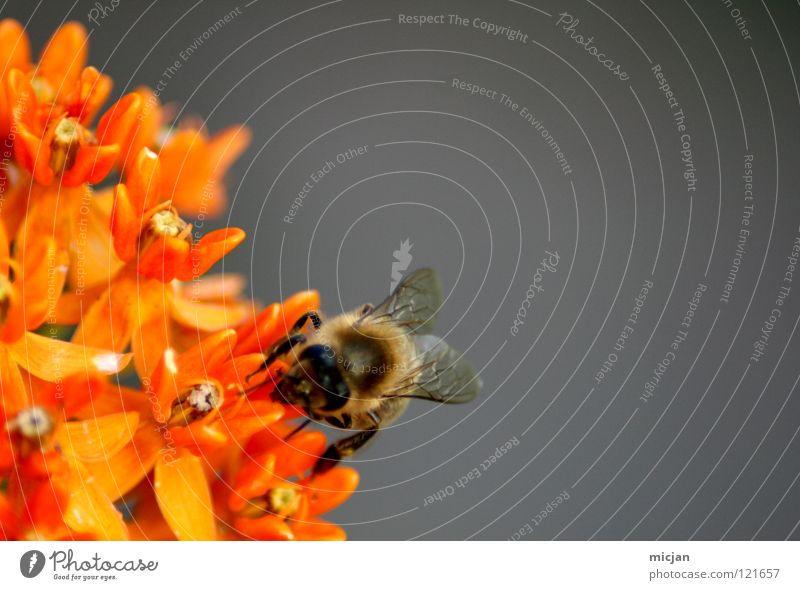 Assiduity Biene Blüte Blume Fertilisation Tier Insekt grau Fluginsekt flugtauglich Hintergrundbild Stock Honig Sammlung Pollen fleißig Wespen einzeln gefährlich