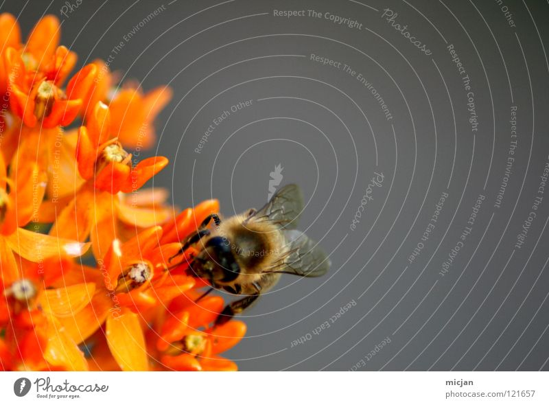 Assiduity Blume Einsamkeit Tier grau klein Blüte Hintergrundbild orange fliegen sitzen gefährlich Ernährung einzeln bedrohlich Biene Insekt