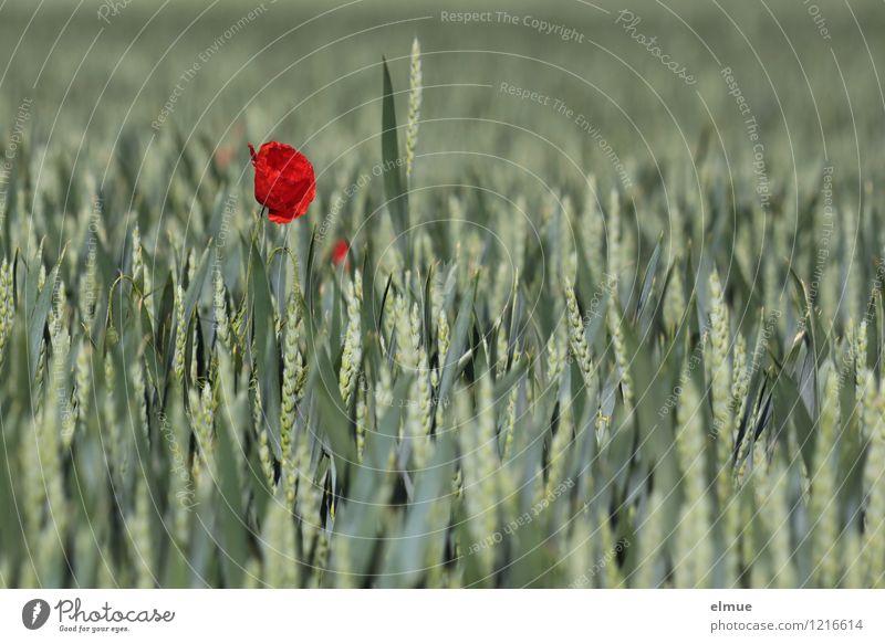 Fixierpunkt Umwelt Pflanze Schönes Wetter Blume Nutzpflanze Mohnblüte Weizenfeld Feld einzeln herausstechend außergewöhnlich Blühend leuchten Wachstum positiv