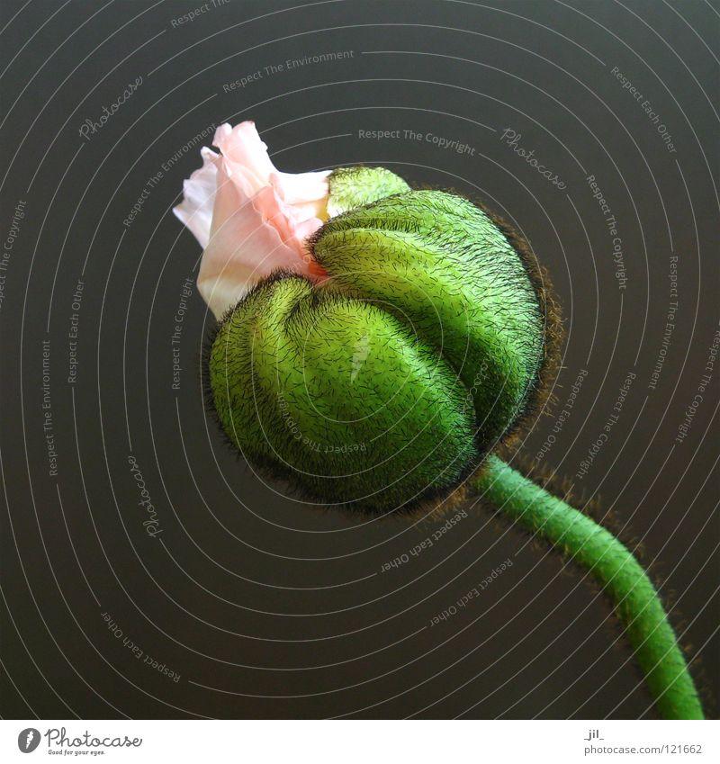 rosa mohn schön Blume grün grau rund Mohn Mohnblüte khakigrün