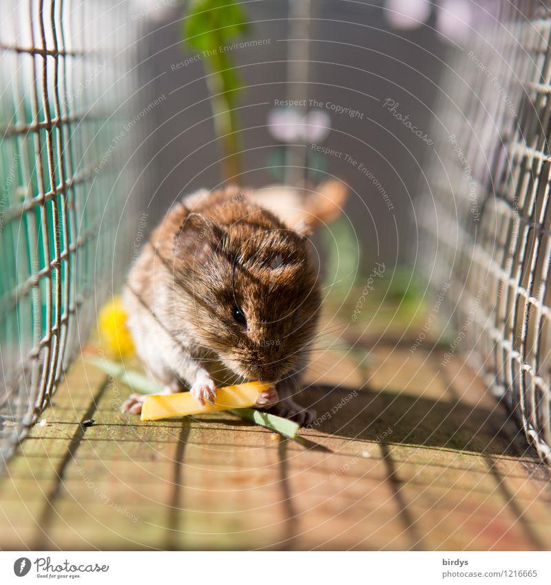 In der Falle Käse Wildtier Maus 1 Tier Mausefalle Gitter Gitternetz Fressen niedlich authentisch gefräßig Gelassenheit Missgeschick gefangen Farbfoto