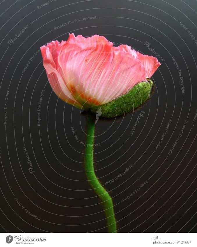pink mohn schön Blume grün grau orange rosa offen Mohn entfalten Mohnblüte khakigrün