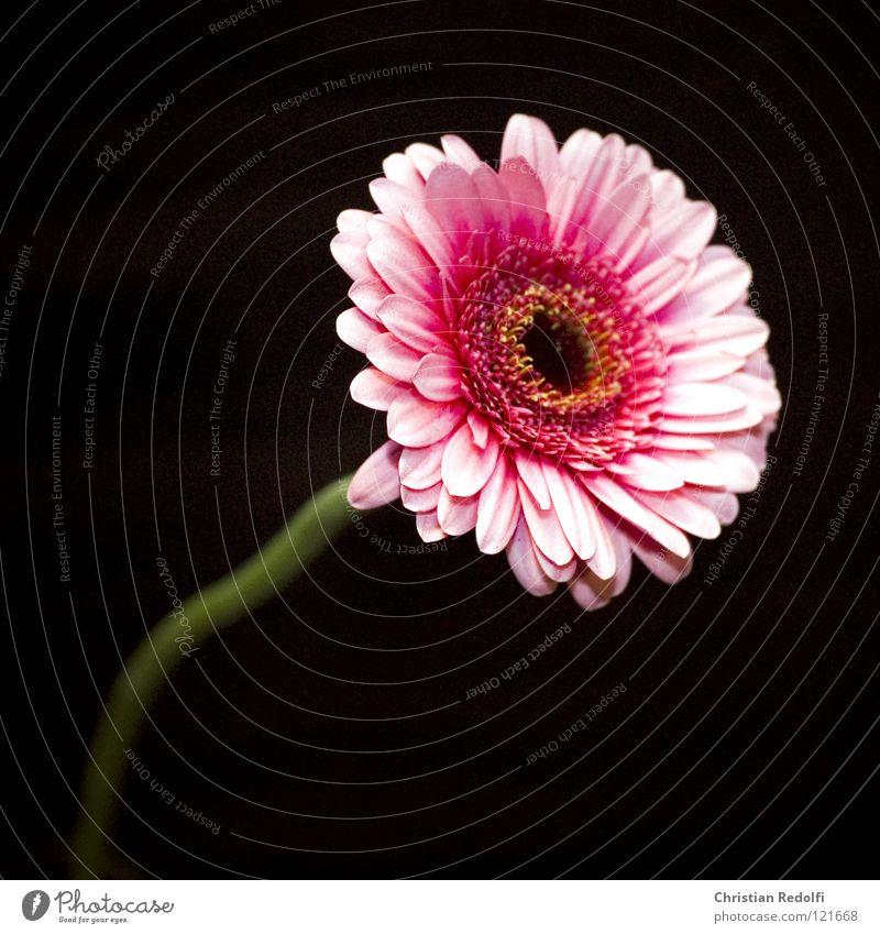 Gerbera Blume schwarz Blüte Frühling klein rosa Afrika Blütenblatt Blütenstiel
