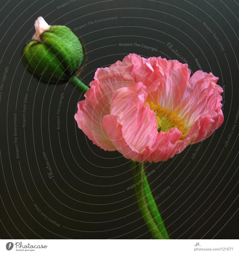rosa und pink mohn schön Blume grün gelb grau orange rosa geschlossen rund offen Mohn entfalten Mohnblüte khakigrün