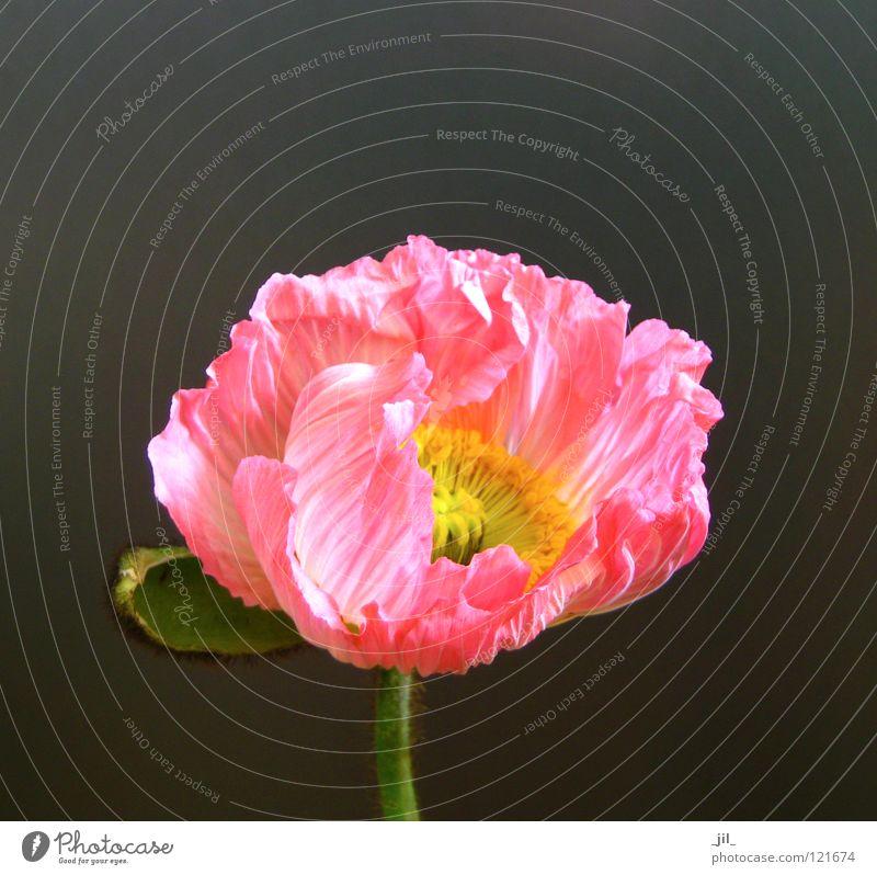 pink mohn Mohn Mohnblüte Blume entfalten rosa gelb grün khakigrün grau schön offen orange