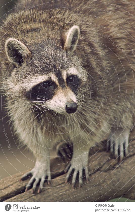 Waschbär Tier Wildtier Fell 1 Jagd Farbfoto Außenaufnahme