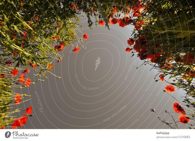 opiumrausch Natur Pflanze grün Blume rot Landschaft Blatt Tier Umwelt Blüte Wiese Gras grau Feld Blühend Wolkenloser Himmel
