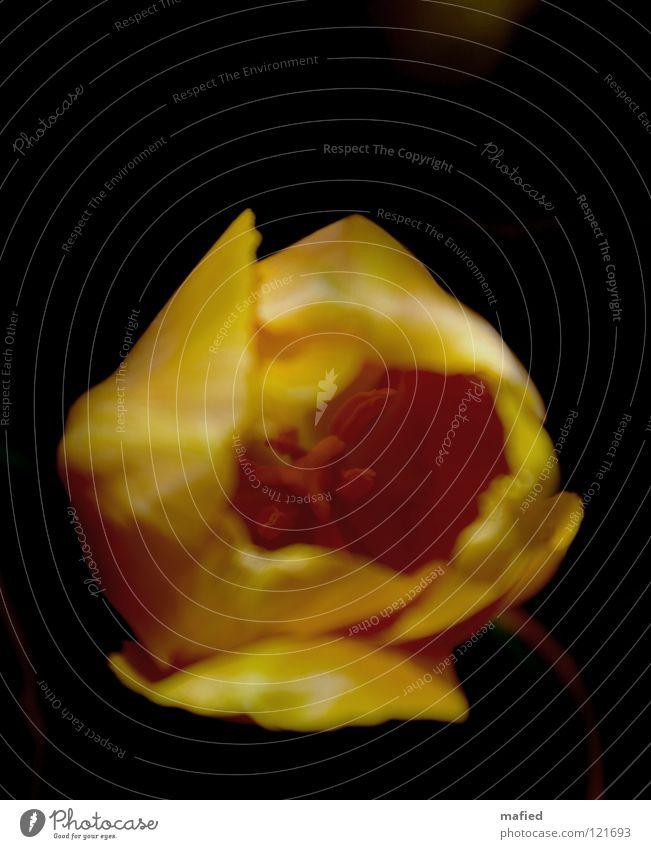 Tiefer! Blume Tulpe gelb schwarz dunkel Blüte bestäuben eindringen orange Pollen Stempel tief drinnen