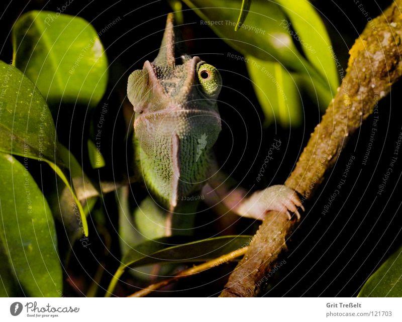 ***Guck*** Chamäleon Reptil häuten Fetzen grün Haut lachen Auge