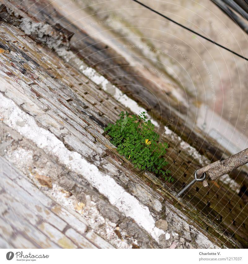 Mauerblümchen Natur Pflanze Sommer Blatt Blüte Wildpflanze Mauerpfeffer Ruine Bauwerk Gebäude Brauerei Wand Fassade Backstein Kabel Schraube Stein Sand Metall