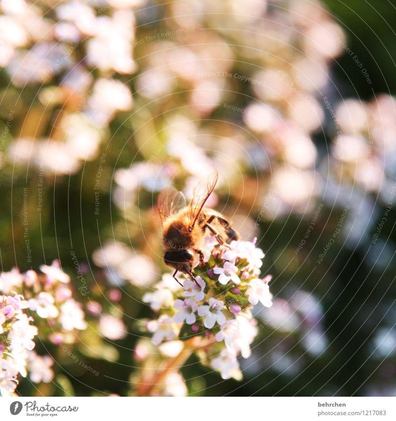 fleißiges bienchen Natur Pflanze Tier Sommer Schönes Wetter Blume Blatt Blüte Nutzpflanze Kräuter & Gewürze Thymian Majoran Oregano Garten Park Wiese Wildtier