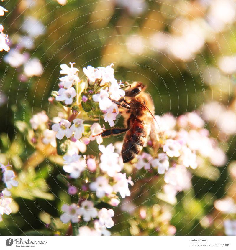 summ summ summ(ertime) Natur Pflanze Tier Frühling Sommer Blume Blatt Blüte Kräuter & Gewürze Majoran Thymian Oregano Garten Park Wiese Wildtier Biene Flügel 1