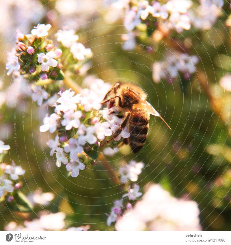 schmetterling;) Natur Pflanze Tier Frühling Sommer Schönes Wetter Blatt Blüte Kräuter & Gewürze Majoran Thymian Oregano Garten Park Wiese Wildtier Biene Flügel