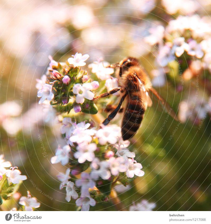 save the bees Pflanze Tier Frühling Sommer Schönes Wetter Blume Blatt Blüte Thymian Garten Biene Flügel Blühend fliegen Wachstum schön braun grün rosa Honig