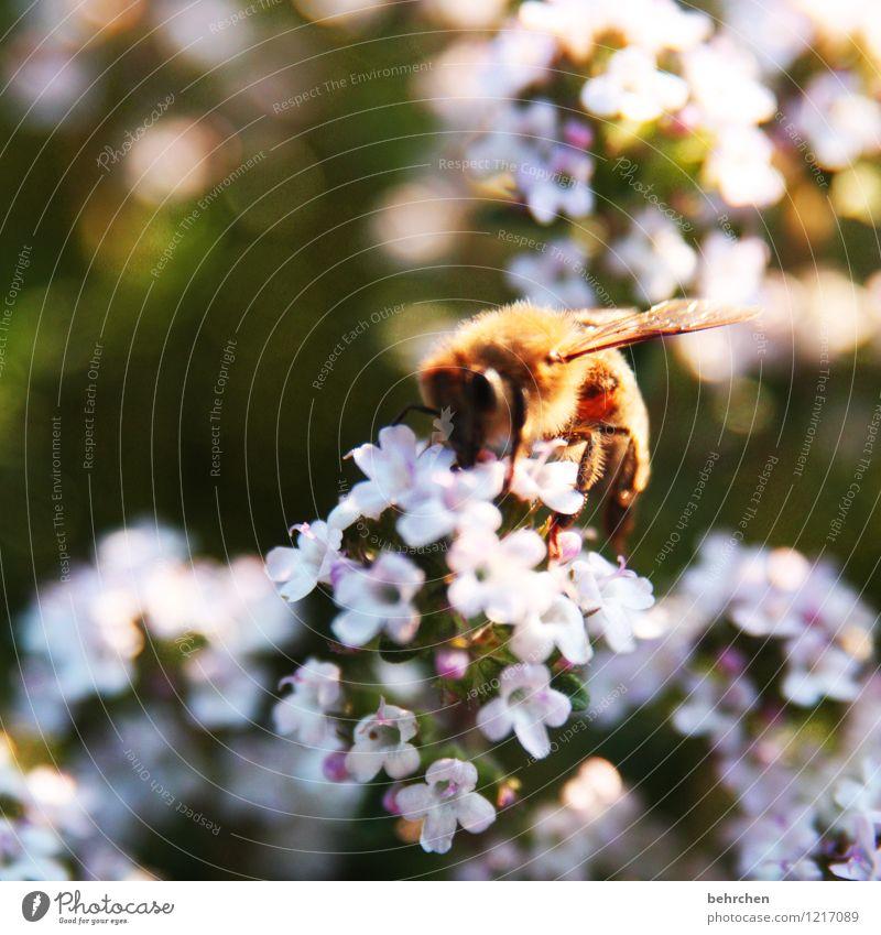 sammlerin Natur Pflanze Frühling Sommer Schönes Wetter Blume Blatt Blüte Nutzpflanze Thymian Garten Park Wiese Feld Tier Nutztier Biene Flügel Blühend fliegen