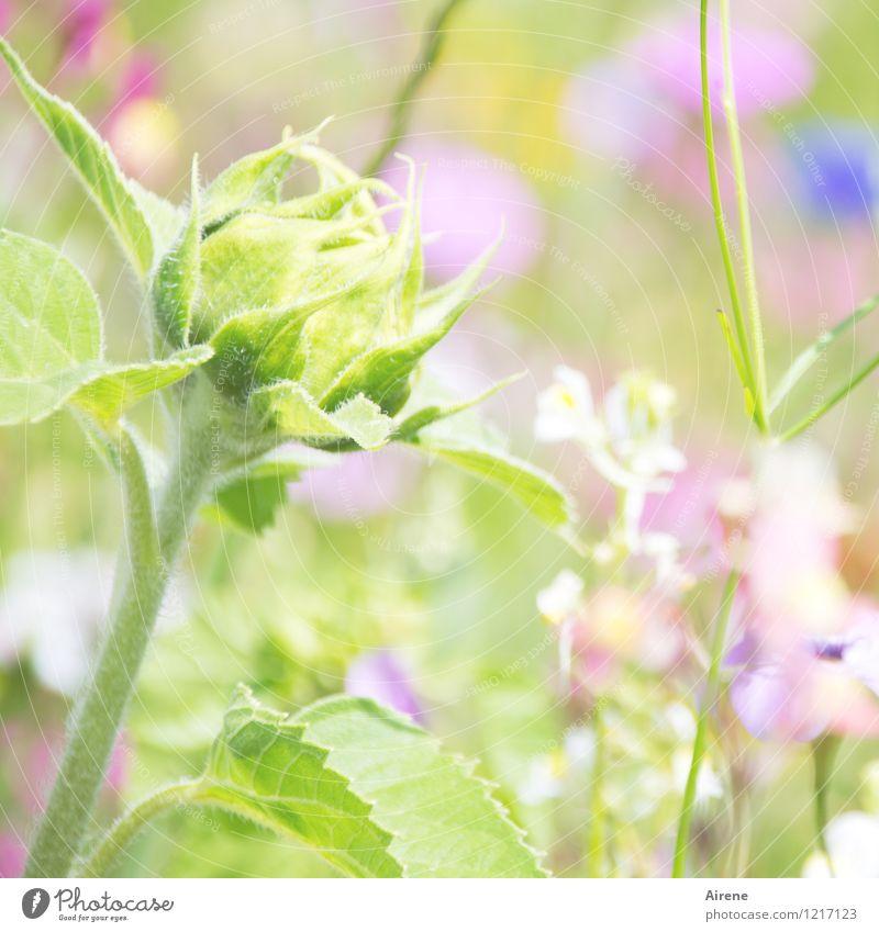 träum weiter... Pflanze Blume Blütenknospen Sonnenblume Wiesenblume Blumenwiese Blühend Wachstum Freundlichkeit hell grün rosa Beginn Natur hellgrün zartes Grün