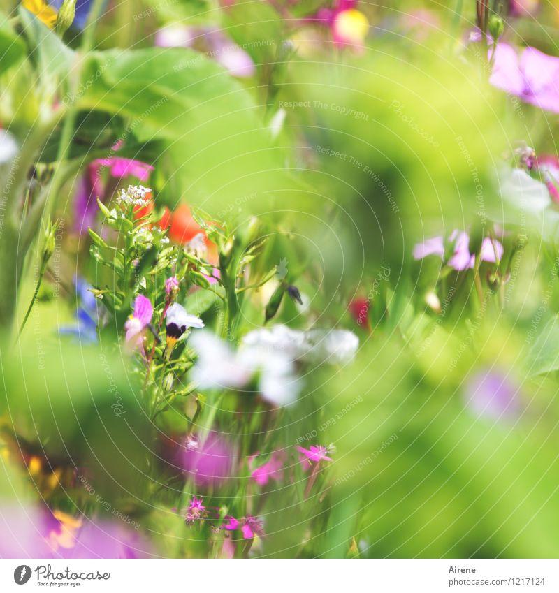 Gruß von Flora 3 Pflanze Blume Wiesenblume Blumenwiese Blühend Duft Wachstum Freundlichkeit hell mehrfarbig grün rosa weiß Natur hellgrün Farbfoto Außenaufnahme