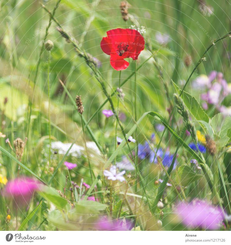 Hingucker Pflanze Blume Wiesenblume Mohnblüte Blumenwiese Blühend Wachstum Freundlichkeit hell mehrfarbig grün rosa rot Farbe Natur Farbfoto Außenaufnahme
