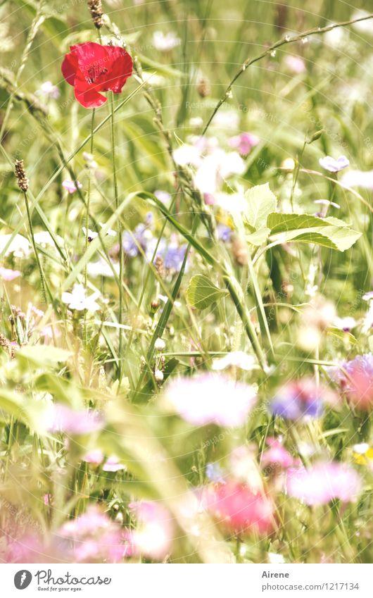 Boden- und Ackertag | Die Saat ist aufgegangen Pflanze Blume Wiesenblume Mohnblüte Blumenwiese Blühend Wachstum Freundlichkeit hell natürlich grün rot weiß