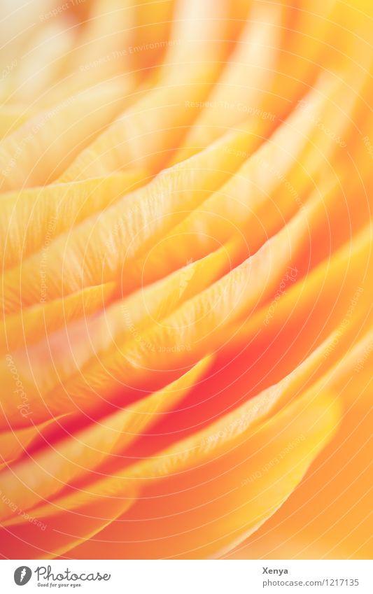 Ranunkel Makro Pflanze Blume Blüte gelb orange Fröhlichkeit Frühlingsgefühle leuchten Makroaufnahme Menschenleer Tag Farbfoto Nahaufnahme Sommer pfirsichfarben