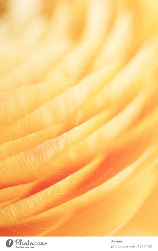 Ranukel Makro Pflanze Blume Ranunkel Freundlichkeit Fröhlichkeit gelb orange Romantik verträumt zart weich Makroaufnahme Menschenleer Unschärfe