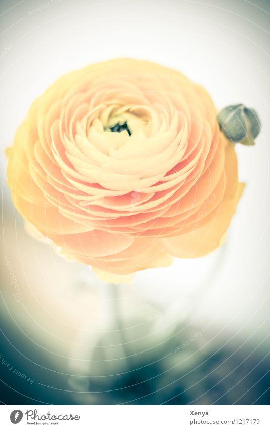 Ranunkel Umwelt Natur Pflanze Blume Tulpe Blatt Blüte Blühend ästhetisch gelb orange Romantik rund verträumt Farbfoto Menschenleer Textfreiraum unten Tag