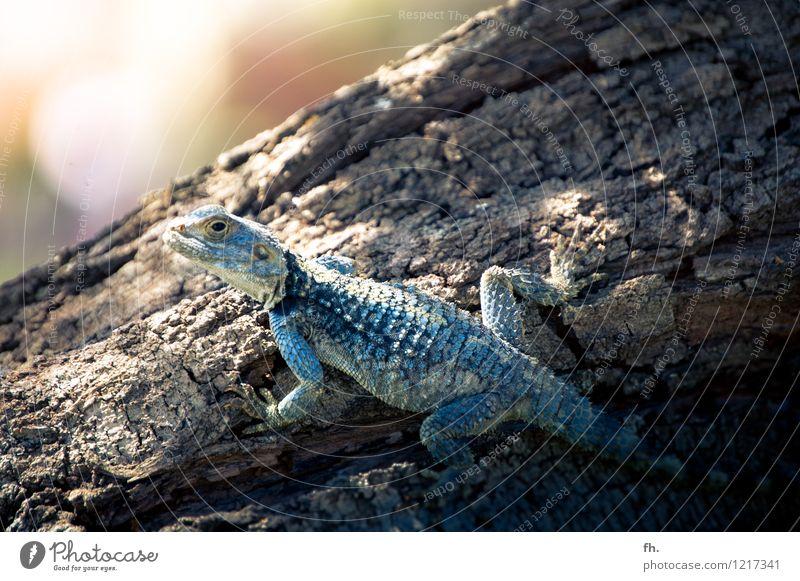 Little Rhaegal blau schön Tier braun glänzend elegant gold ästhetisch beobachten Ewigkeit Neugier nah festhalten Gelassenheit türkis exotisch