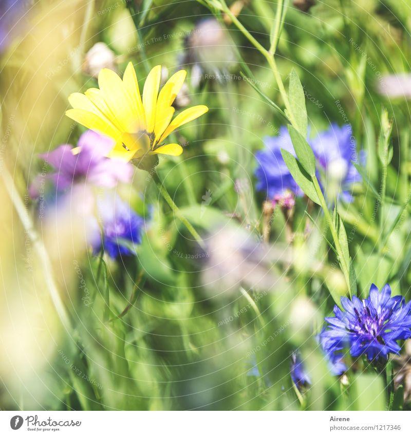 Flora: Das letzte Pflanze Blume Wiesenblume Blumenwiese Blühend Wachstum Freundlichkeit hell blau gelb grün Natur Farbfoto Außenaufnahme Tag