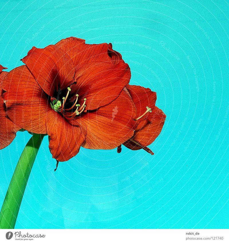 Ritterstern Amaryllisgewächse Blüte Stengel rot türkis grün streben Kraft Blume Wachstum Zimmerpflanze Grüner Daumen Vergänglichkeit Freude volle blüte Zwiebel