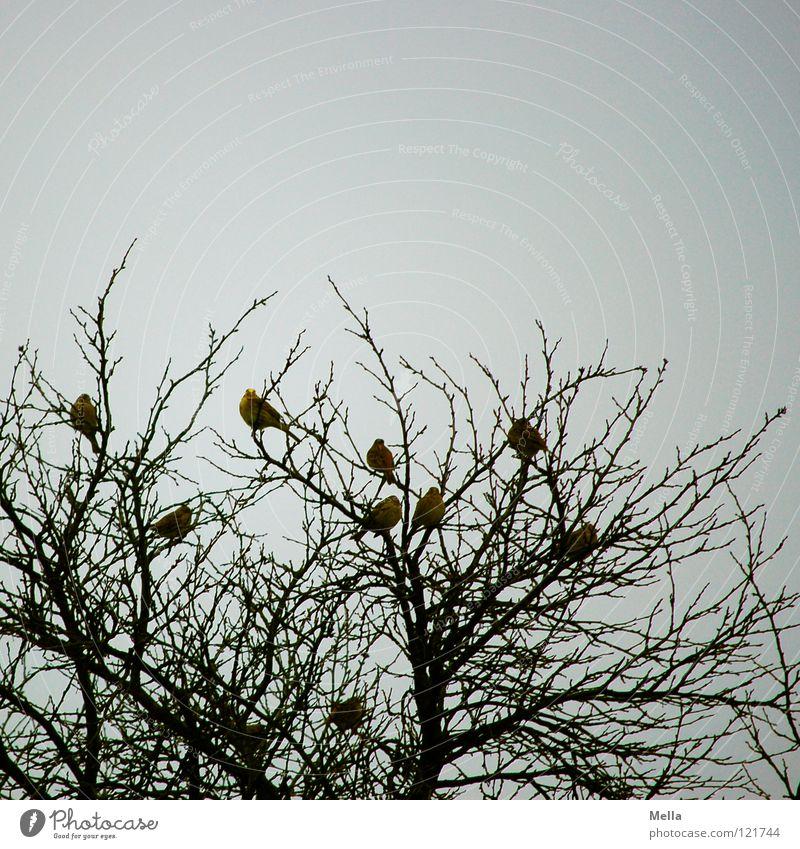 Finkenwinter III Vogel Vogelschwarm Winter überwintern Baum Baumkrone leer mehrere hocken Zusammensein Gesellschaft (Soziologie) Zusammenhalt Wohngemeinschaft