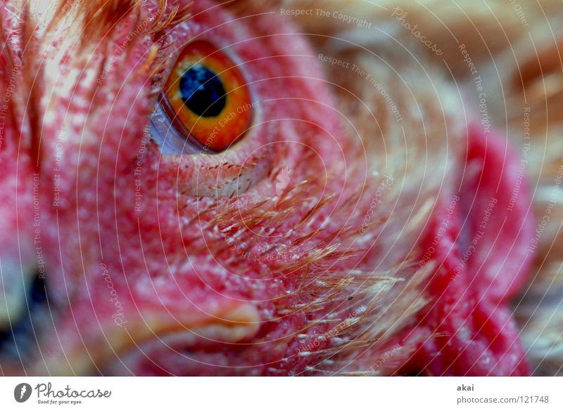 Schau nicht so! Tier Futter Fressen Ernährung Haushuhn Wachsamkeit Kontrolle Jäger Jagd Angst Makroaufnahme Nahaufnahme Opfer Lebensmittel Vorsicht akai Blick