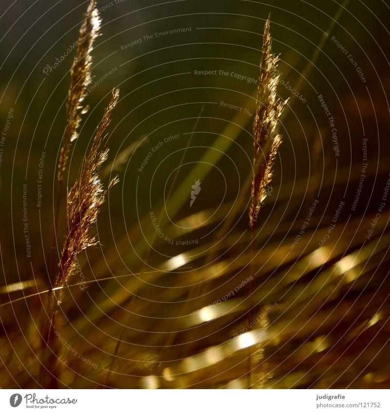 Gras grün schön Pflanze Farbe Wiese glänzend weich zart Weide Stengel Halm sanft beweglich Pollen Ähren
