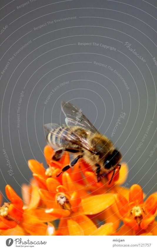 Fliegendes Plüschtier Biene Blüte Blume Fertilisation Tier Insekt grau Fluginsekt flugtauglich Hintergrundbild Stock Honig Sammlung Pollen fleißig Wespen