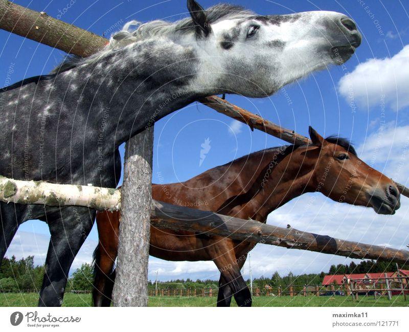 Der Drang nach Freiheit Natur Tier Freiheit Pferd Sehnsucht Zaun Säugetier Bedürfnisse