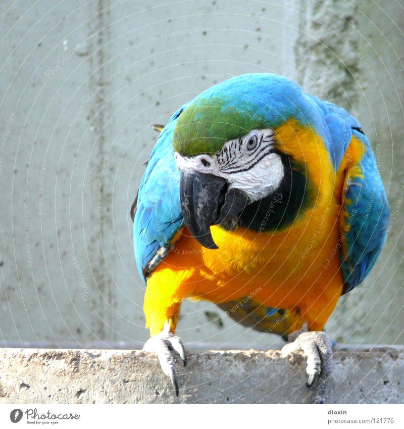 Ara Ararauna blau gelb Vogel fliegen Beton Flügel Feder Zoo Kuba türkis Urwald Schnabel gefangen Südamerika Brasilien Bolivien