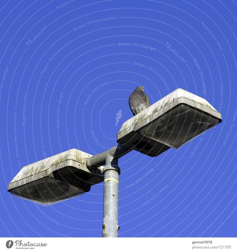 Luftratten-Landeplattform Himmel blau Lampe Vogel dreckig fliegen beobachten Laterne Jagd Publikum Verkehrswege Schönes Wetter Taube Gift vergiften Späher