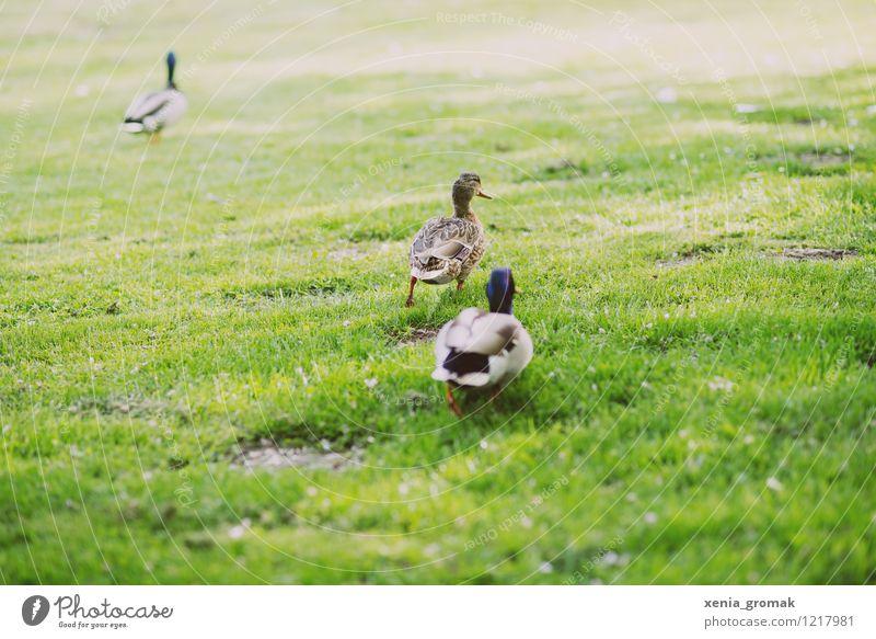 Entenpaar ruhig Freizeit & Hobby Spielen Ausflug Abenteuer Freiheit Sommer Sommerurlaub Tier Wildtier Vogel 3 Tierpaar rennen grün Natur Garten Park Wiese