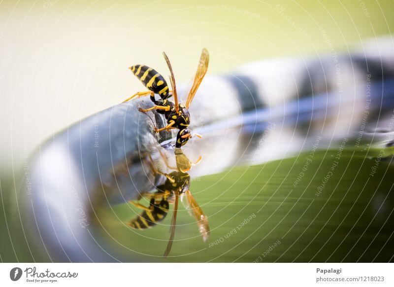 Durst I Umwelt Natur Wasser Sommer Schönes Wetter Garten Teich Tier Wildtier Wespen Insekt 1 fliegen trinken gelb grün Erholung durstig Gallische Feldwespe