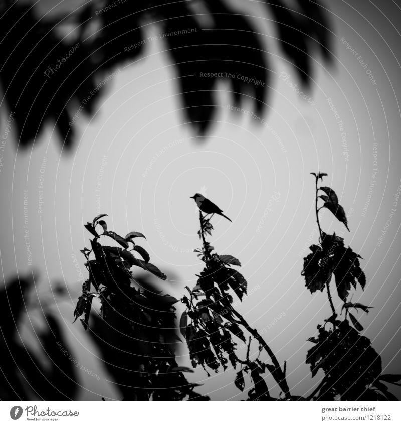Singvogel auf Zweig Umwelt Natur Frühling Pflanze Sträucher Blatt Tier Vogel 1 sitzen außergewöhnlich dunkel einzigartig grau schwarz weiß Ast Zweige u. Äste