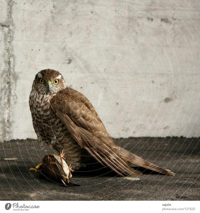 spatz als beute Auge Tier grau Vogel Tierfuß Erfolg Tiergesicht Feder Flügel fangen festhalten Wildtier Jagd Appetit & Hunger gefangen