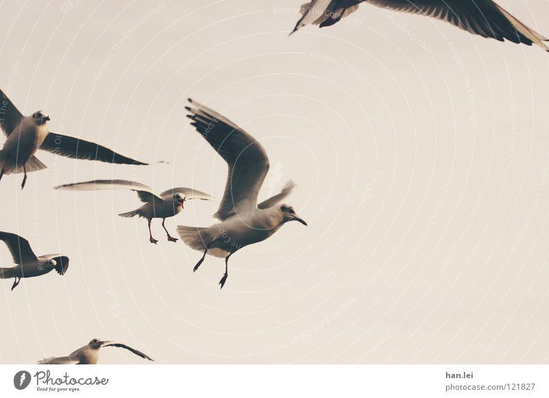 Möwen Segeln Luftverkehr Tier Vogel Flügel fliegen braun Feder Schnaben Seemöwe Freiheit Farbfoto Außenaufnahme Textfreiraum rechts Tag Tierporträt