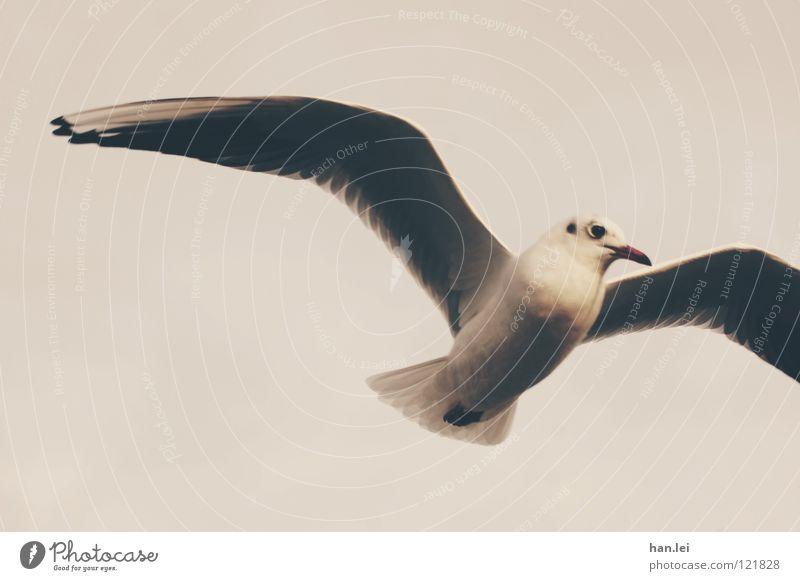 Möwe 1 Segeln Luftverkehr Tier Vogel Flügel fliegen Feder Schnaben Seemöwe Farbfoto Außenaufnahme Textfreiraum links Tag Tierporträt