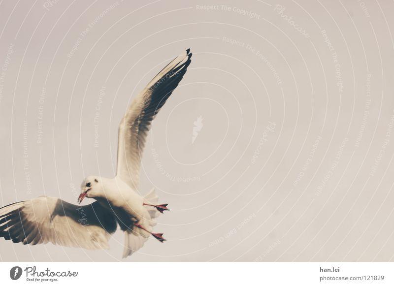 Möwe 2 Tier Vogel fliegen Luftverkehr Flügel Feder Segeln
