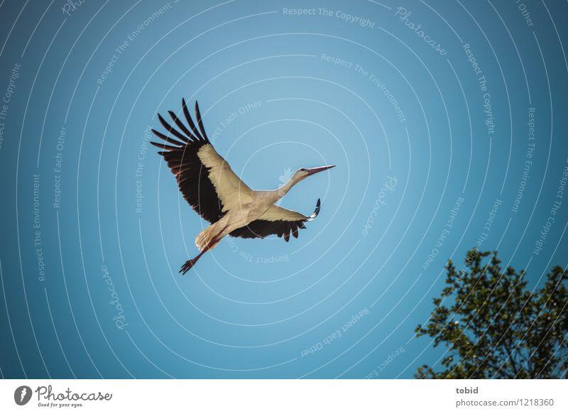 Spreedorado | Fly away Sommer Natur Pflanze Tier Himmel Wolkenloser Himmel Schönes Wetter Baum Wildtier Storch 1 Bewegung fliegen ästhetisch elegant frei